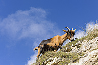 Spain, Cantabria, Picos de Europa National Park, Goat in the mountains - LA000317