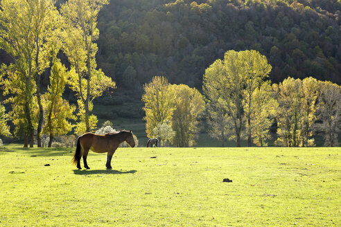 Spain, Asturia, Picos de Europa National Park, Ruta del Cares, Horses on meadow - LA000299