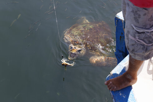 Turkey, Dalyan, Loggerhead turtle (Caretta caretta) being baited with crab - SIE004754