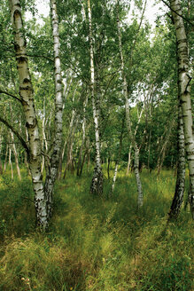 Germany, Brandenburg, Wustermark, Olympic village 1936, part of forest with birch trees - VI000078