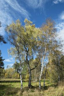 Germany, Baden Wuerttemberg, Villingen-Schwenningen, downy birches at Schwenninger Moos Nature Reserve - EL000689