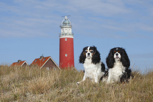 Netherlands, Texel, two Cavalier King Charles Spaniels sitting in front of a lighthouse side by side on a dune - HTF000281