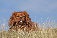 Netherlands, Texel, Cavalier King Charles Spaniel sitting on a dune - HTF000272