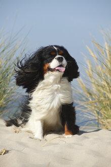 Netherlands, Texel, Cavalier King Charles Spaniel sitting on a sand dune - HTF000275