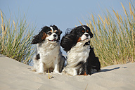 Netherlands, Texel, two Cavalier King Charles Spaniels sitting on a sand dune - HTF000277