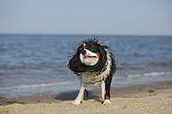 Netherlands, Texel, Cavalier King Charles Spaniel shaking his fur on the beach - HTF000280