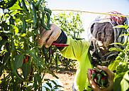 Australia, Carnarvon, Farmer working on chili farm - MBE000970