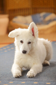 Berger Blanc Suisse, White Swiss Shepherd Dog, puppy, lying on carpet - HTF000284