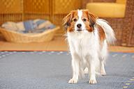 Nederlandse Kooikerhondje standing on carpet - HTF000285