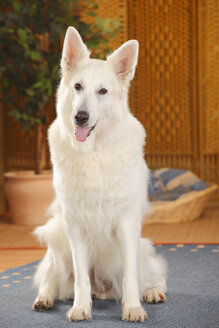 Berger Blanc Suisse, White Swiss Shepherd Dog, sitting on carpet - HTF000288