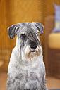 Portrait of Schnauzer - HTF000294