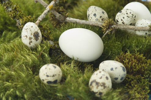 Goose eggs and quail eggs on moss - ASF005246