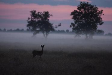 Germany, North Rhine-Westphalia, Recker Moor, Landscape with roe deer in the morning - PAF000108