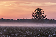Germany, North Rhine-Westphalia, Recker Moor, Landscape with cotton grass at sunrise - PAF000101