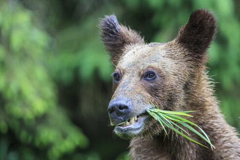 Canada, Khutzeymateen Grizzly Bear Sanctuary, Portrait of a Grizzly - FO005350