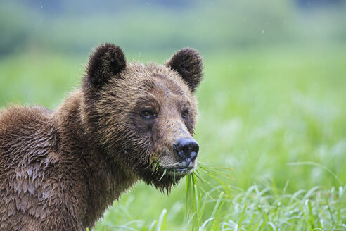 Canada, Khutzeymateen Grizzly Bear Sanctuary, Portrait of a Grizzly - FO005352