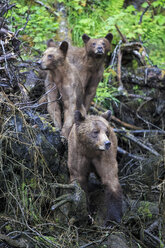 Canada, Khutzeymateen Grizzly Bear Sanctuary, Female grizzly bear with offspring - FOF005367