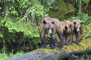 Canada, Khutzeymateen Grizzly Bear Sanctuary, Female grizzly bear with offspring - FOF005365