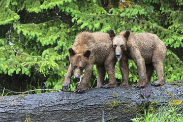 Canada, Khutzeymateen Grizzly Bear Sanctuary, Young grizzly bears - FOF005363