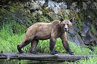 Canada, Khutzeymateen Grizzly Bear Sanctuary, Female grizzly bear - FOF005360