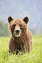 Canada, Khutzeymateen Grizzly Bear Sanctuary, Grizzly bear eating grass - FOF005372