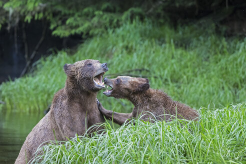 Canada, Khutzeymateen Grizzly Bear Sanctuary, Playing grizzly bears - FO005373