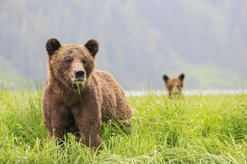 Canada, Khutzeymateen Grizzly Bear Sanctuary, Grizzly bears eating grass - FOF005375