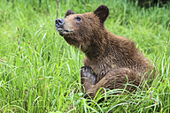 Canada, Khutzeymateen Grizzly Bear Sanctuary, Grizzly sitting in grass - FO005396