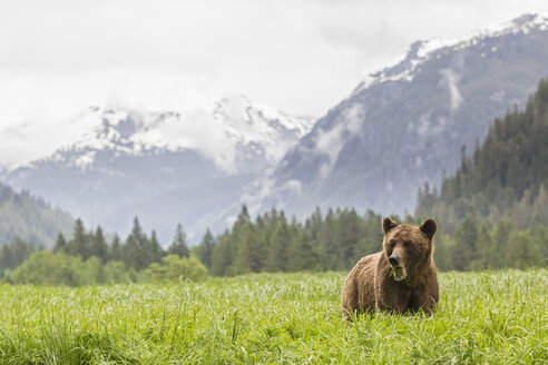 Canada, Khutzeymateen Grizzly Bear Sanctuary, Grizzly bear eating grass - FOF005380