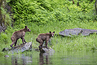 Canada, Khutzeymateen Grizzly Bear Sanctuary, Young grizzlies at lake - FOF005382