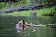 Canada, Khutzeymateen Grizzly Bear Sanctuary, Female grizzly swimming in lake - FOF005384