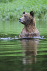 Canada, Khutzeymateen Grizzly Bear Sanctuary, Female grizzly in lake - FOF005387