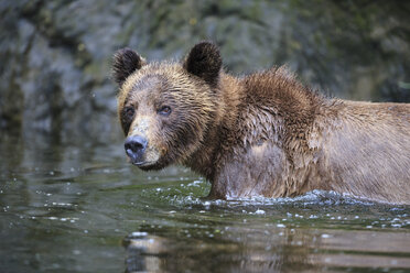 Canada, Khutzeymateen Grizzly Bear Sanctuary, Female grizzly in lake - FOF005389