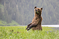 Canada, Khutzeymateen Grizzly Bear Sanctuary, Female grizzly standing upright - FOF005400