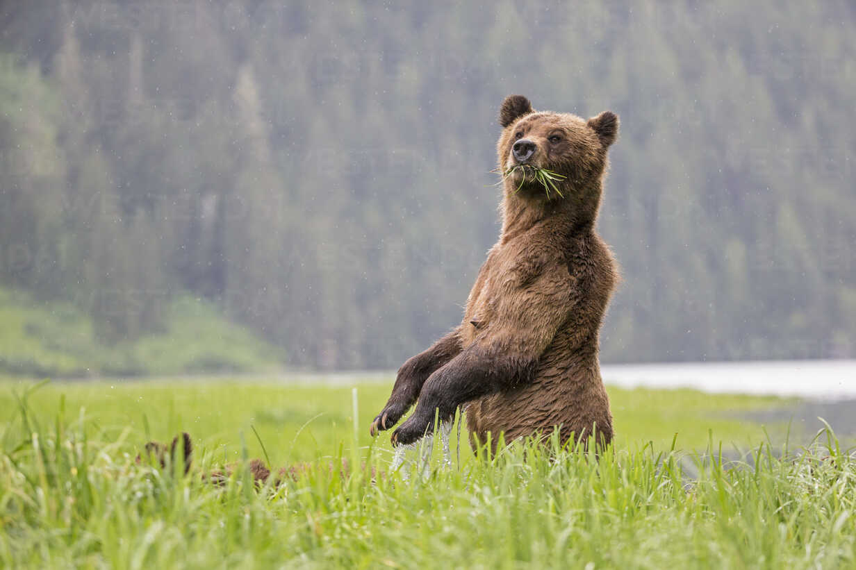 Canada, Khutzeymateen Grizzly Bear Sanctuary, Female grizzly standing upright - FOF005400 - Fotofeeling/Westend61