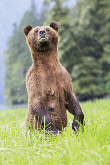 Canada, Khutzeymateen Grizzly Bear Sanctuary, Female grizzly standing upright - FOF005402