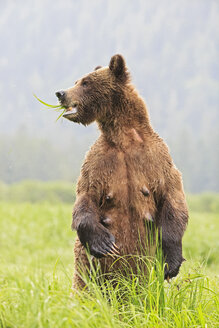 Canada, Khutzeymateen Grizzly Bear Sanctuary, Female grizzly standing upright - FOF005405