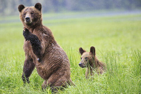 Canada, Khutzeymateen Grizzly Bear Sanctuary, Female grizzly standing upright with kid - FOF005406