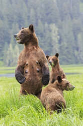 Canada, Khutzeymateen Grizzly Bear Sanctuary, Female grizzly standing upright with kids - FO005407
