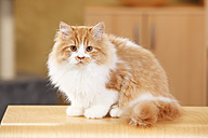 British Longhair, tomcat, sitting at stool - HTF000319