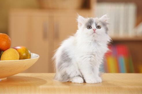British Longhair, kitten, looking up - HTF000305