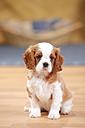 Cavalier King Charles Spaniel, puppy, sitting on wooden floor - HTF000317