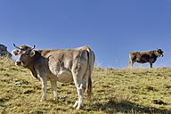 Spain, Aragon, Central Pyrenees, Ordesa y Monte Perdida National Park, cattle on meadow - LAF000358