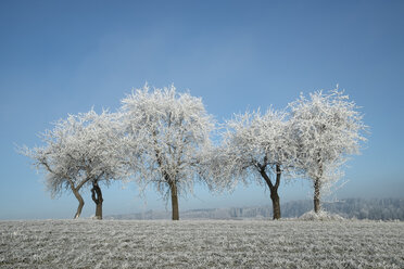 Germany, Baden-Wuerttemberg, Tuttlingen district, meadow with scattered fruit trees, covered with frost - ELF000734