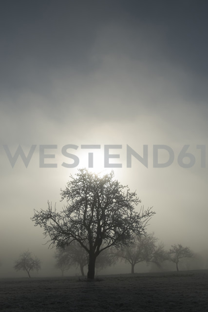 Germany, Baden-Wuerttemberg, Tuttlingen district, meadow with scattered fruit trees and wafts of mist - ELF000742 - Markus Keller/Westend61