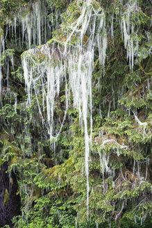 Canada, British Columbia, Khutzeymateen Provincial Park, Great Bear Rainforest, lichen on a conifer - FO005433