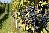 Germany, Baden-Wuerttemberg, Pinot Noir grapes in Markgraeflerland - DHL000204