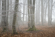 Switzerland, Thurgau, Beech forest in fog - ELF000746