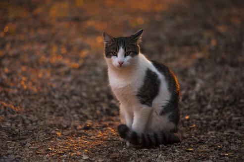 Croatia, Vrsar, Cat - KJ000282