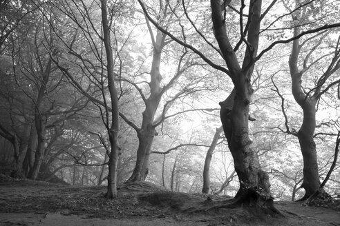Germany, Mecklenburg-Western Pomerania, Ruegen, Jasmund National Park, beech forest in the fog - WI000250